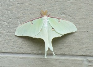 Male Luna Moth.  Luna moths have a short lifespan.  They are really big--about the size of your hand.