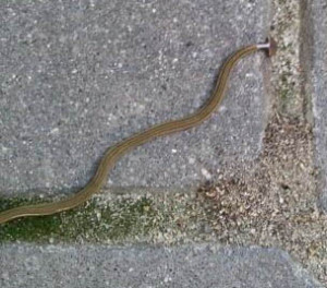 This is a Shovel Headed Garden Worm.  They can grow several feet long and they eat earthworms.  Not a favorite of earthworm farmers who raise worms to sell to bait shops.  Just like regular worms, we usually see them after a hard rain.