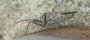 Wheel Bug.  Check out the gear-looking hump on his back.  This is a predatory bug--they eat other insects, so he is a hero in my book.