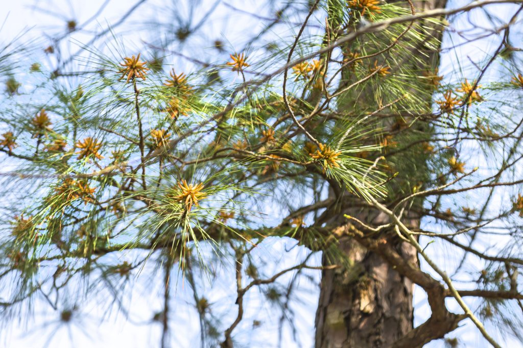 Loblolly pine tree in the Park.
