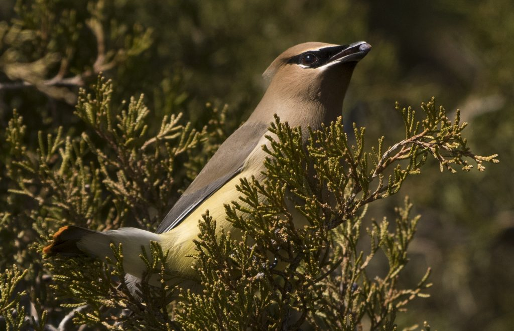 Cedar waxwing in the Park.
