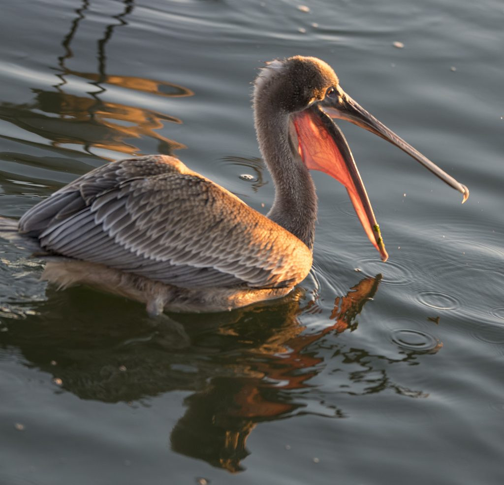Brown pelican in the Park.
