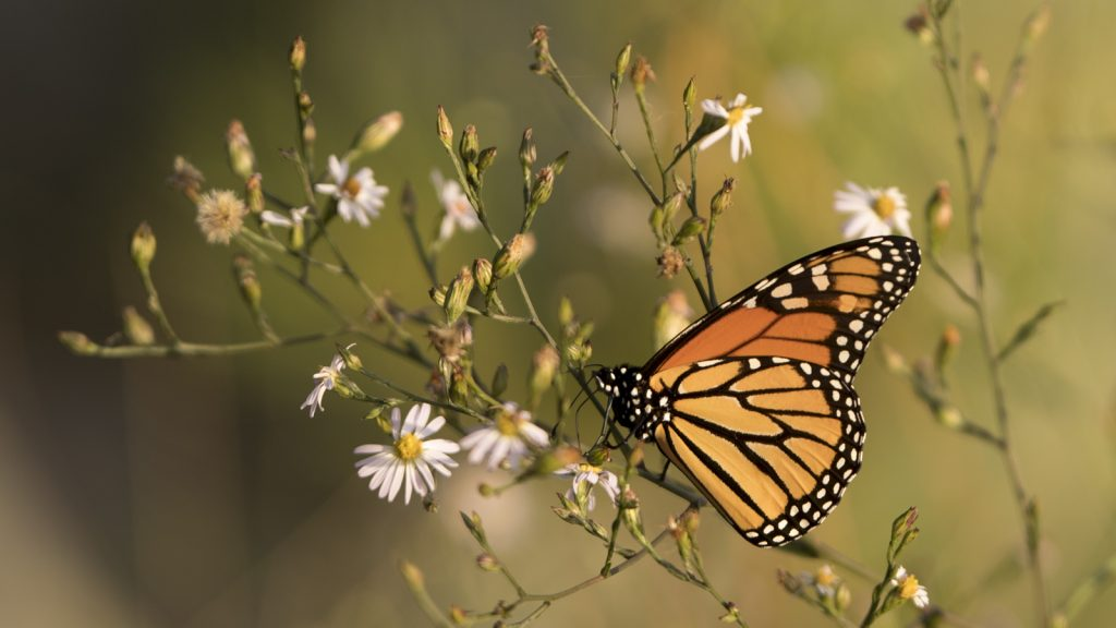 A monarch butterfly in the Park.