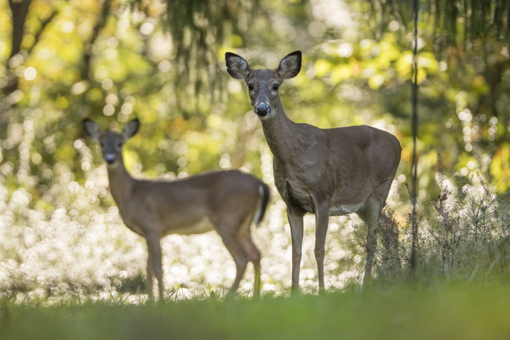 Two white-tailed deer in the Park.
