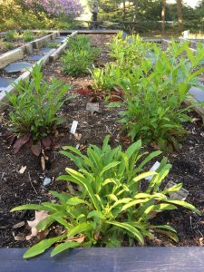 Several calico beardtongue plants growing in a raised bed