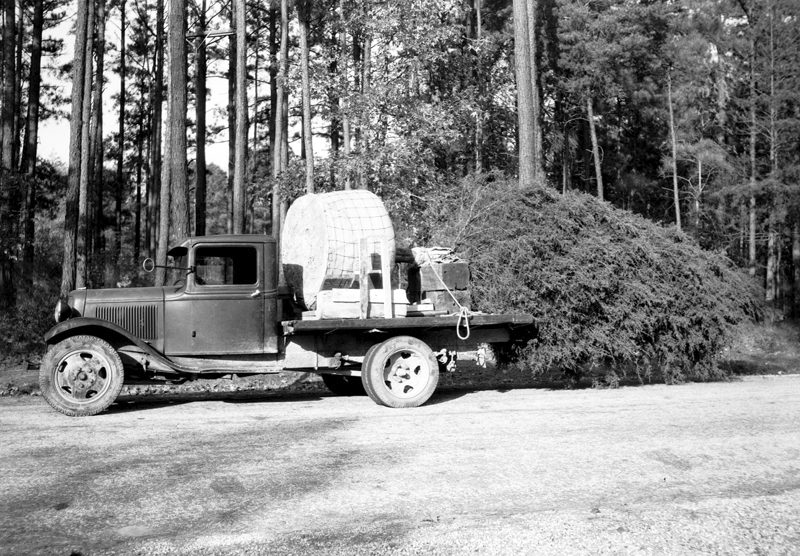 Cedar Tree Planting, 1936