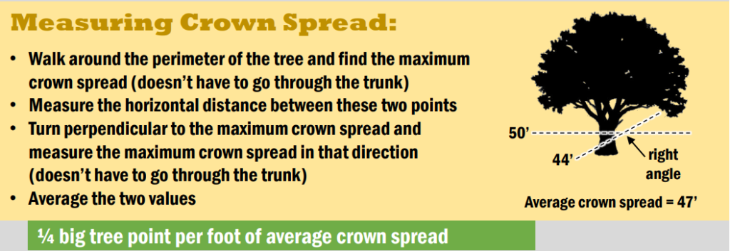 An infographic on how to measure the crown spread of a tree.