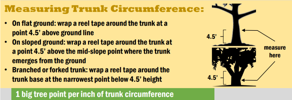 An infographic on how to measure the circumference of a tree.