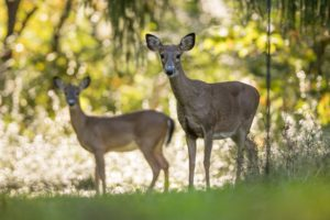 Two deer in the Park